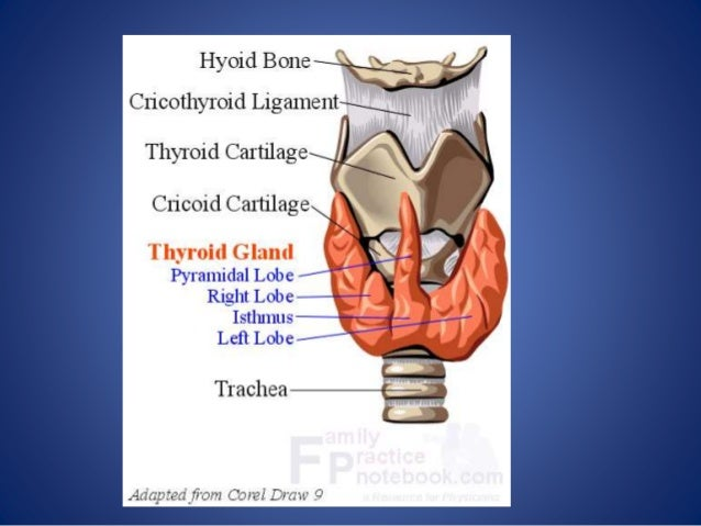 Thyroid Anatomy And Physiology