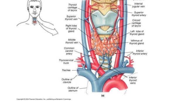 Jugular vein anatomy