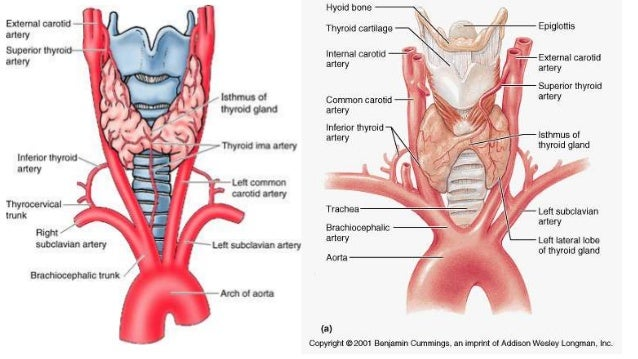 anatomy of thyroid gland, Human body