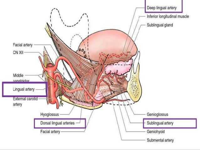 Thyroid, facial and lingual artery -- Anatomy and anastomosis