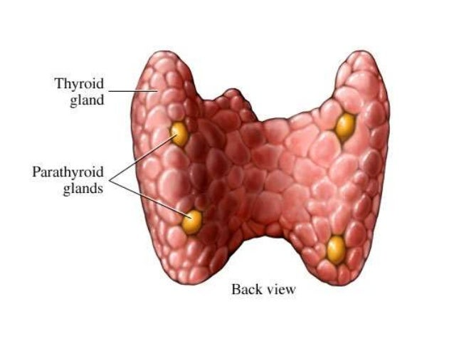 thyroid-gland-2-638?cb=1393997782, Human Body