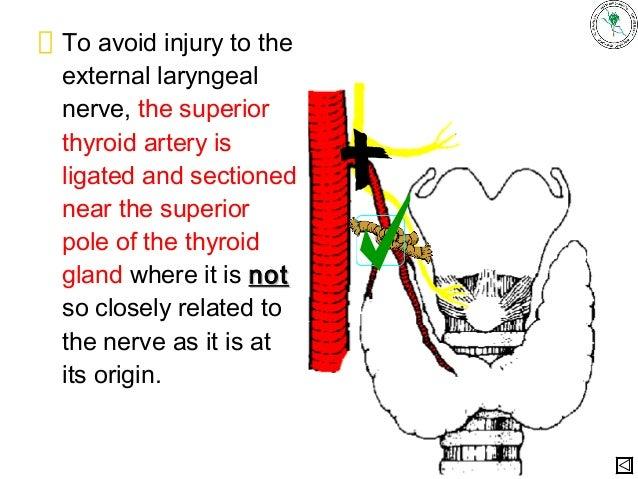 Thyroid anatomy nerves