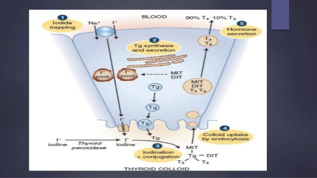 Thyroid Gland Anatomy Synthesis