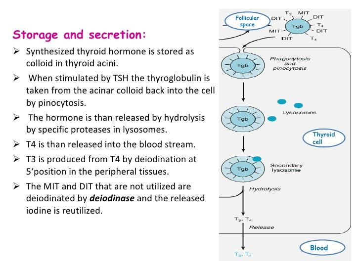 thyroid hormone produced in gut image collections