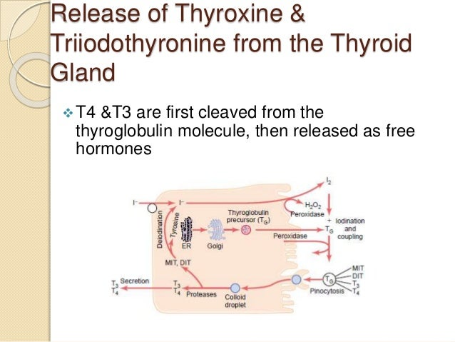 Thyroid Metabolic Hormones