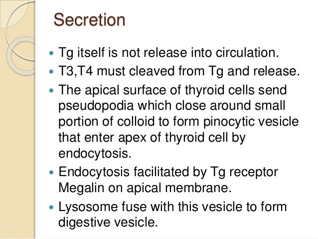 Secretion  Tg itself is not release into circulation.  T3,T4 must cleaved from Tg and release.  The apical surface of t...
