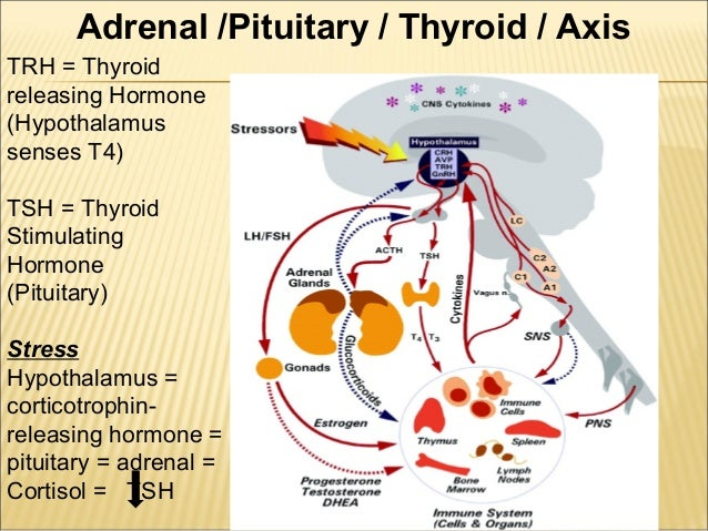 thyroid hormone and anabolic steroid