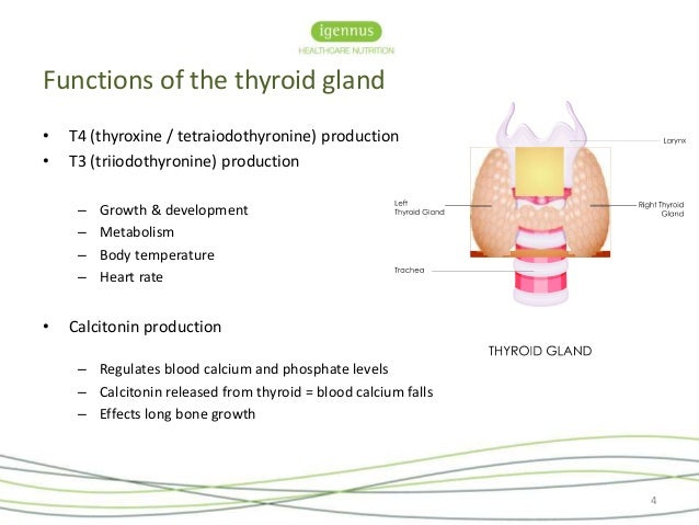which gland secretes testosterone