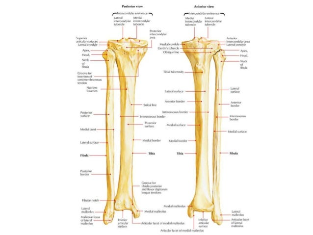 Tibia (shinbone)