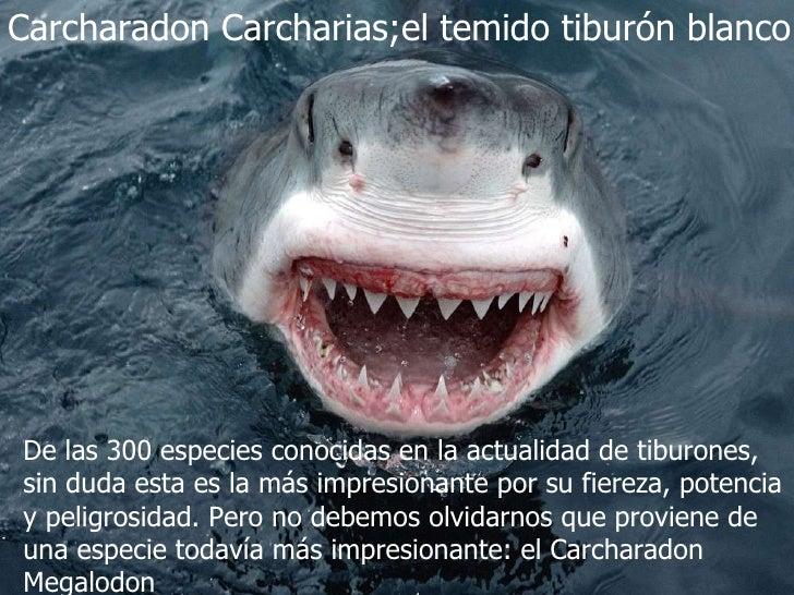 Carcharadon Carcharias;el temido tiburón blanco De las 300 especies conocidas en la actualidad de tiburones, sin duda esta...