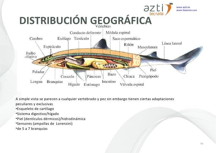 Encantador Diagrama Anatomía Del Tiburón Ilustración - Anatomía de ...