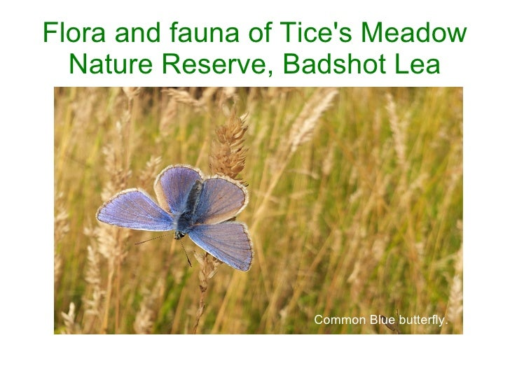 Flora and fauna of Tices Meadow  Nature Reserve, Badshot Lea                                                    Common Blu...