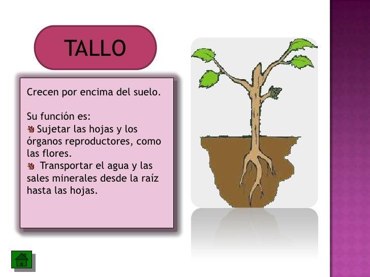 Las partes de la planta y sus funciones for Cuales son las partes de un arbol