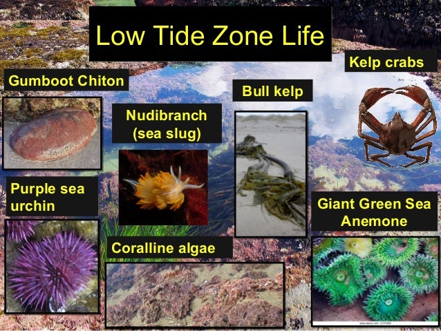Tidal zones notes ppt tide zone subtidal zone 13 sciox Image collections