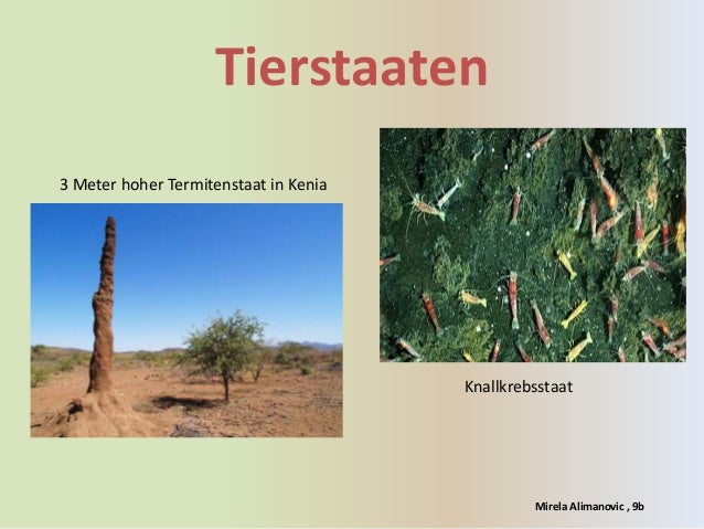 Tierstaaten3 Meter hoher Termitenstaat in Kenia                                       Knallkrebsstaat                     ...