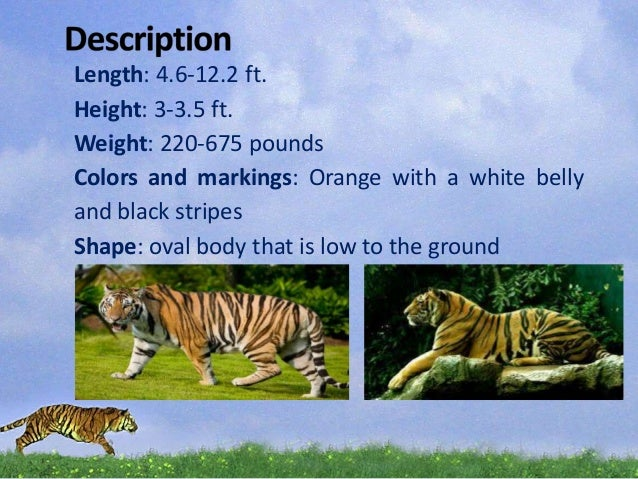 a description of the tiger as a part of the kingdom animalia phylum chordata and class carnivora Kingdom: animalia phylum: chordata class: mammalia order:carnivora family:canidae distribution: originally, gray wolves had the largest distribution of any unfortunately, by the mid-1930s, the killing of wolves greatly reduced the gray wolf population in the united states to parts of alaska, idaho, michigan,.