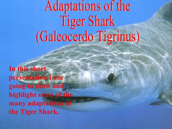 Fish adaptations: The Tiger Shark