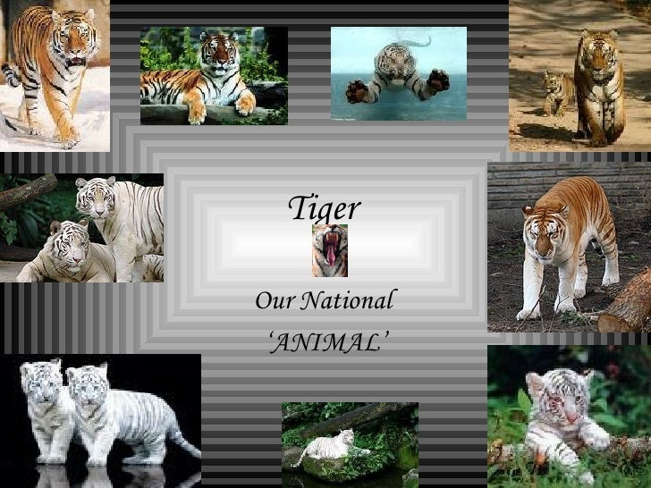 Tiger  Our National  ' ANIMAL'