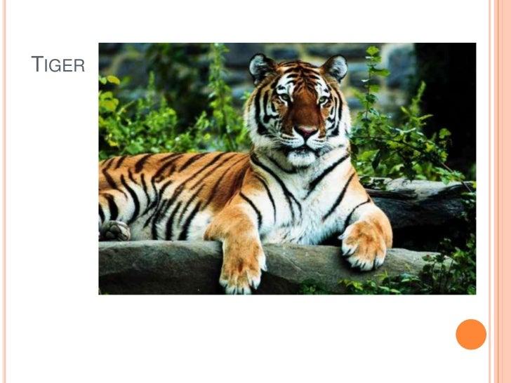 Tiger<br />