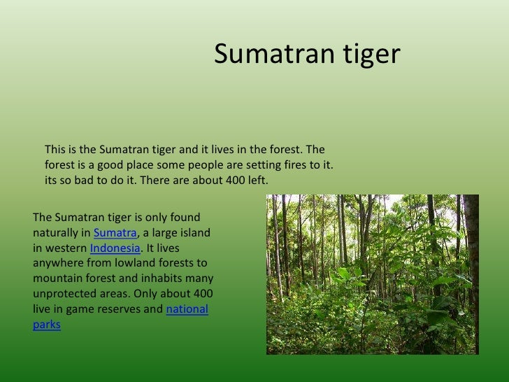 Sumatran tiger<br />This is the Sumatran tiger and it lives in the forest. The forest is a good place some people are sett...