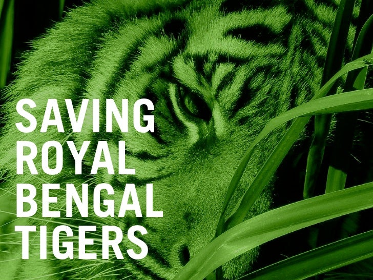 SAVING ROYAL BENGAL TIGERS