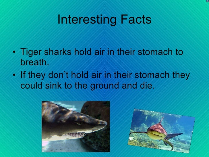 the description of tiger sharks Physical description tiger sharks are one of the  wirsing, a, m heithaus, l dill 2006 tiger shark  the animal diversity web is an educational resource.