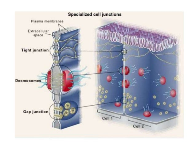 Tight Junction Amp Gene Expression