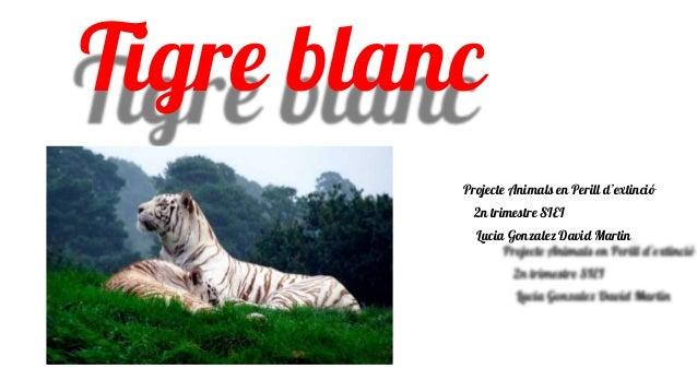 Tigre blanc Projecte Animals en Perill d'extinció 2n trimestre SIEI Lucia Gonzalez David Martin