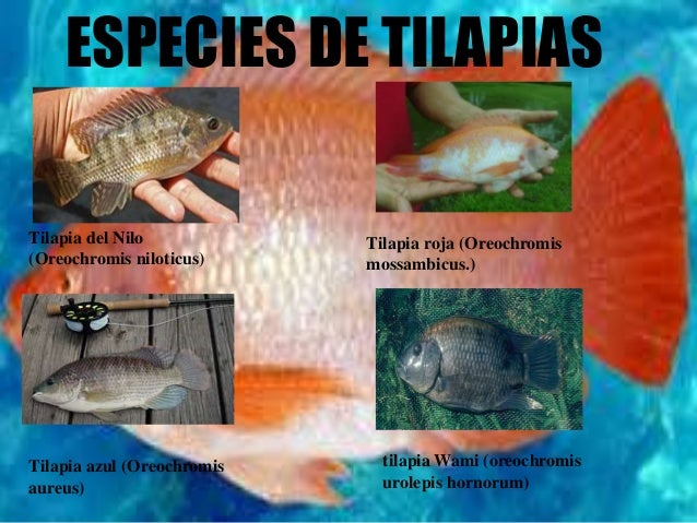 Tilapia for Piscicultura tilapia roja