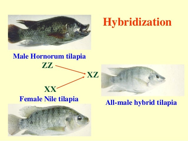 importance of sex reversal in tilapia in Whitby