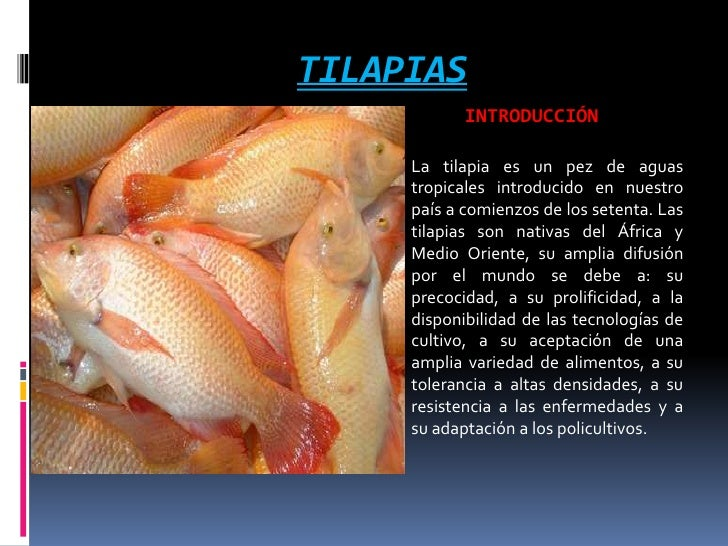 Presentacion de tilapias for Proyecto de tilapia en estanques