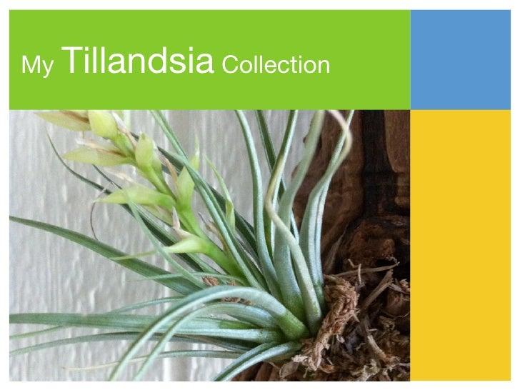 My   Tillandsia Collection