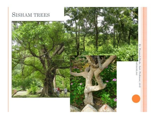 SISHAM TREES Er.PrameshHada,Asst.Professor,civil EngineeringDepartment,nec Er.PrameshHada,Asst.Professor,civil Engineering...