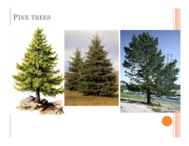 PINE TREES Er.PrameshHada,Asst.Professor,civil EngineeringDepartment,nec Er.PrameshHada,Asst.Professor,civil EngineeringDe...