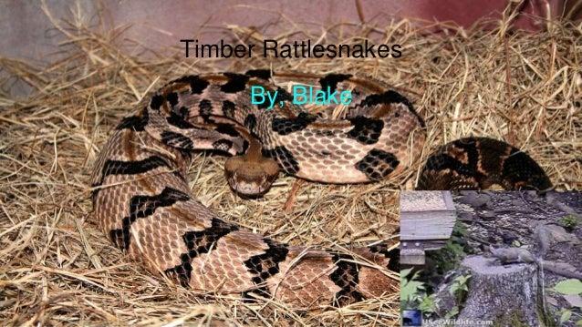 Timber Rattlesnakes By, Blake