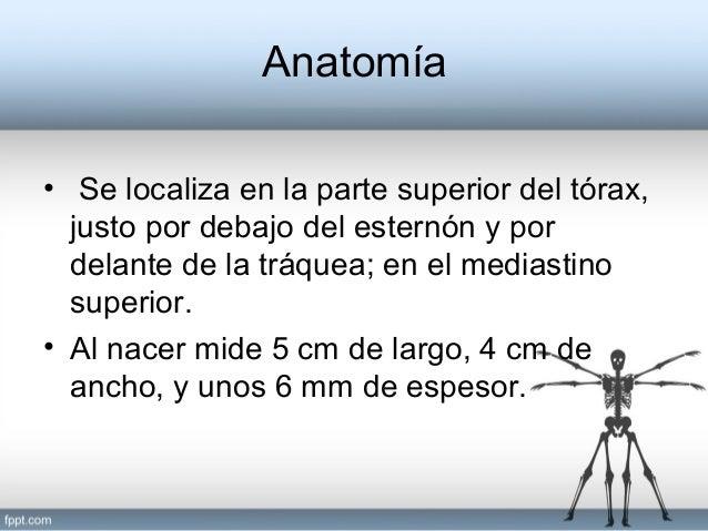 El Timo - Generalidades, Anatomía, Histología, Embriología, Relacione…