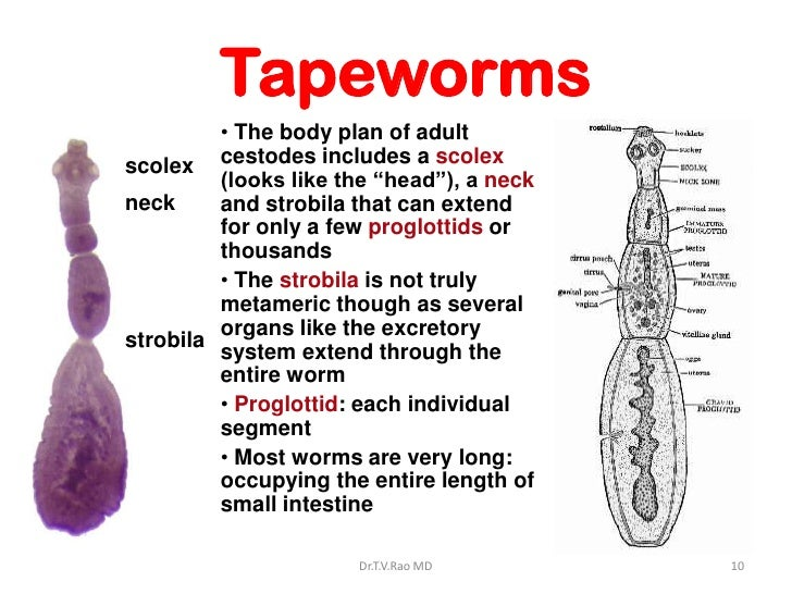 Tapeworm diagram strobila tapeworm diagram strobila photo4 ccuart Gallery
