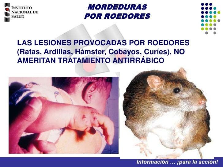 MORDEDURAS POR ROEDORES<br />LAS LESIONES PROVOCADAS POR ROEDORES (Ratas, Ardillas, Hámster, Cobayos, Curíes), NO AMERITAN...