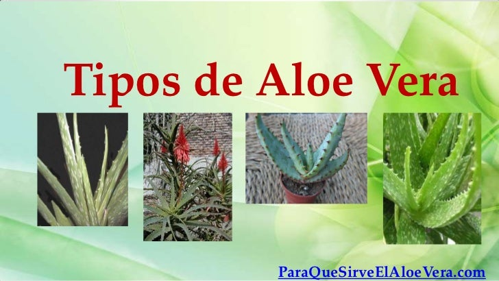 Tipos de Aloe Vera         ParaQueSirveElAloeVera.com