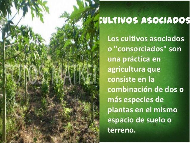 Tipos de cultivo for Que son cultivos asociados