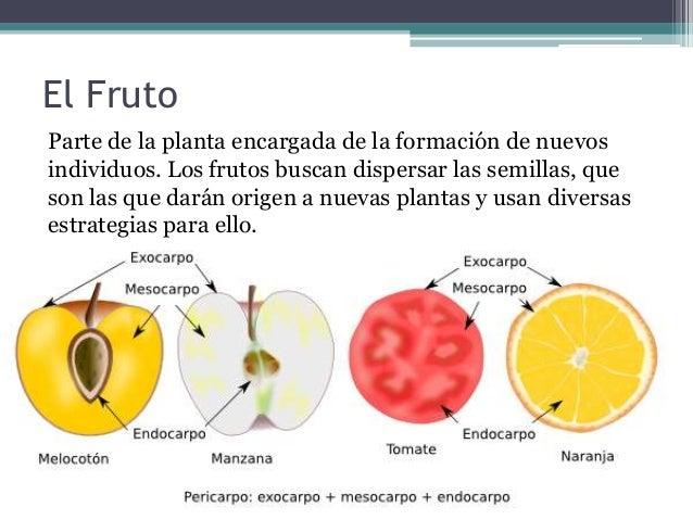 Tipos de frutos for Cuales son los tipos de plantas