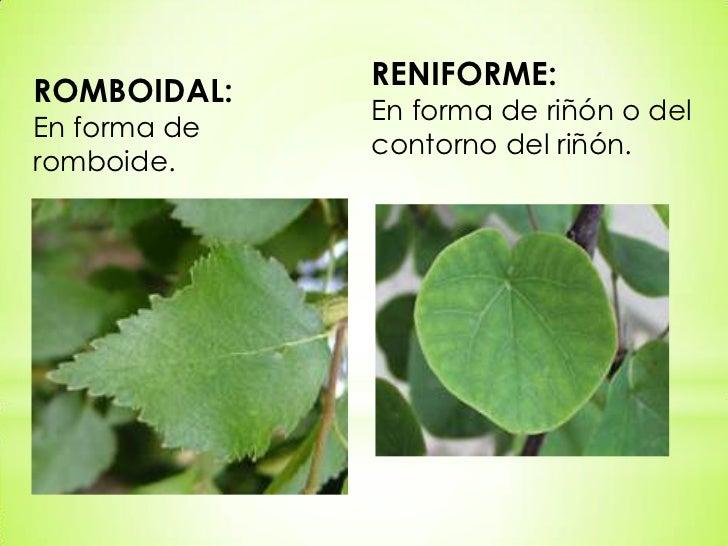 Tipos de hojas for Ornamental definicion