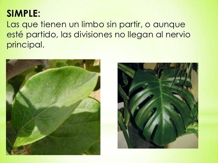 Tipos de hojas for Arboles con sus nombres y caracteristicas