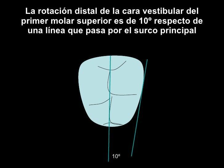 La rotación distal de la cara vestibular del primer molar superior es de 10º respecto de una línea que pasa por el surco p...