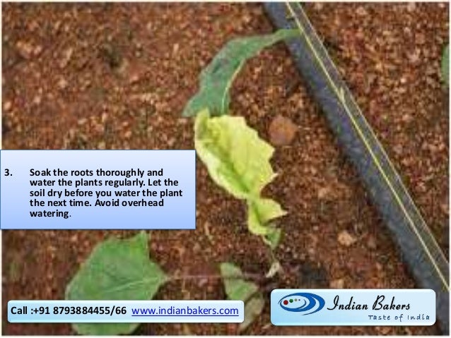 3. Soak the roots thoroughly and water the plants regularly. Let the soil dry before you water the plant the next time. Av...