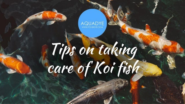 Tips on taking care of Koi fish