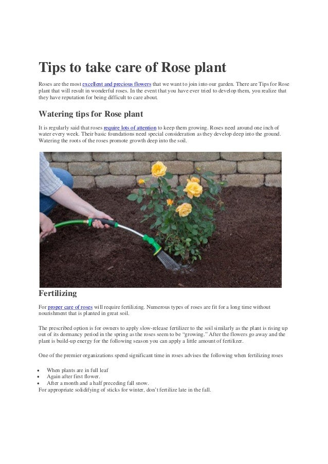 Tips To Take Care Of Rose Plant
