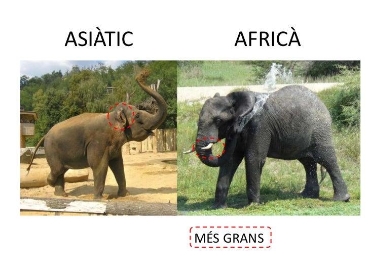 AFRICÀ<br />ASIÀTIC<br />MÉS GRANS<br />