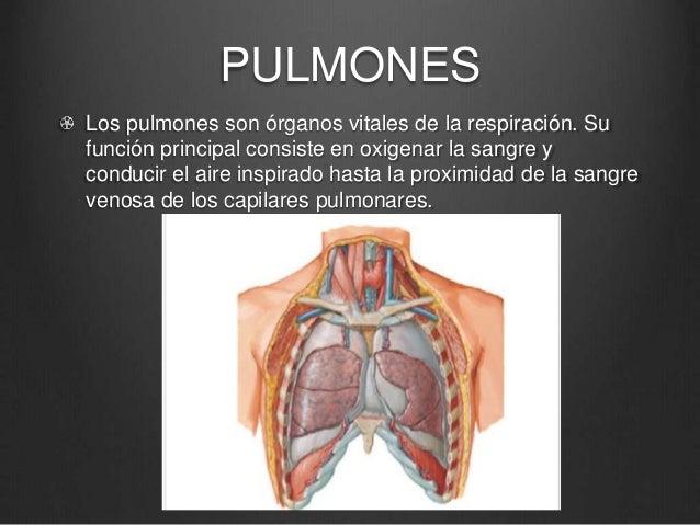Anatomia traquea pulmones tiroides