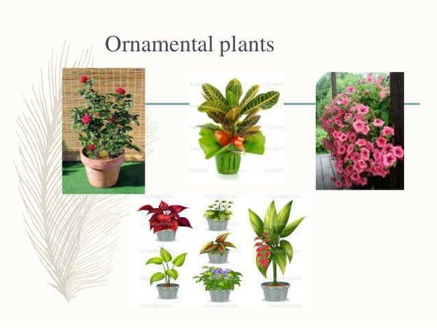 Tissue culture in medicinal and ornamental plants for Design of ornamental plants